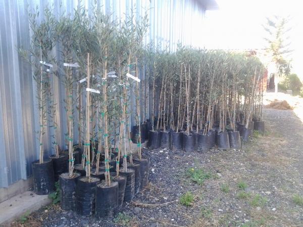 piante_olive_1